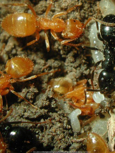 Die glänzendschwarze Holzameise I mikrobalpina