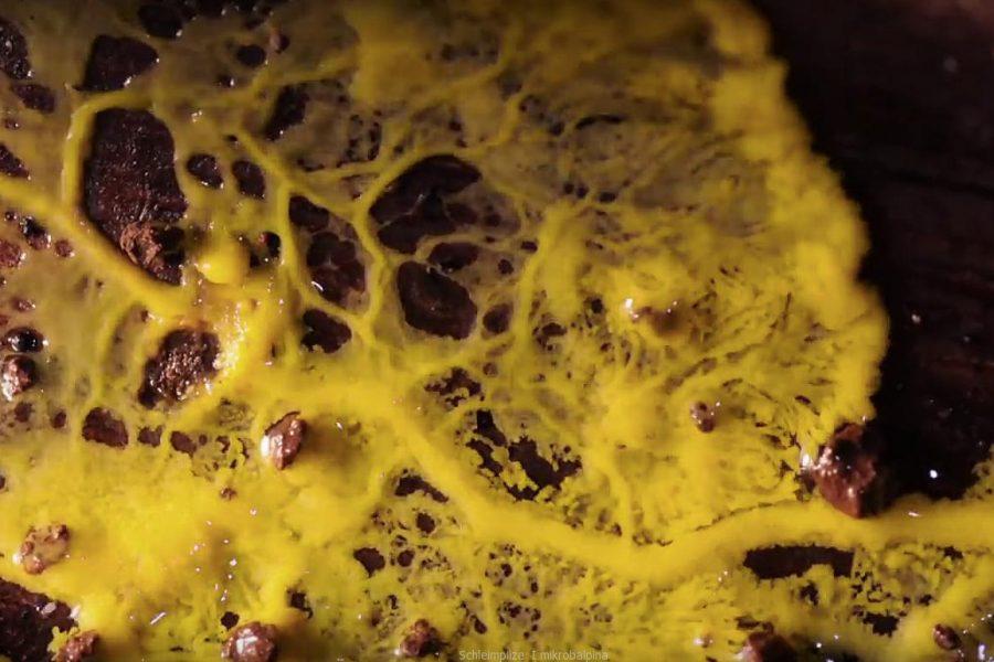 Schleimpilze I mikrobalpina